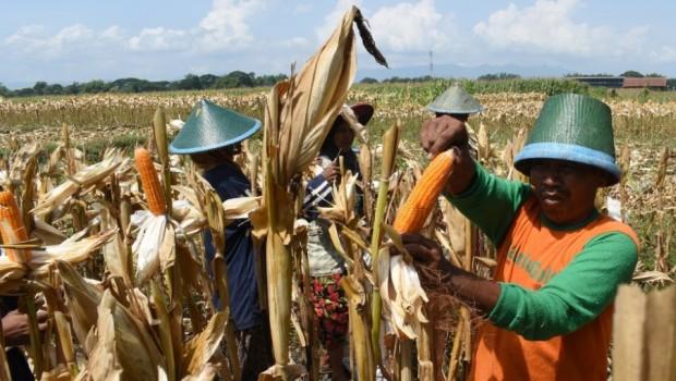 2018, Indonesia Setop Impor Jagung