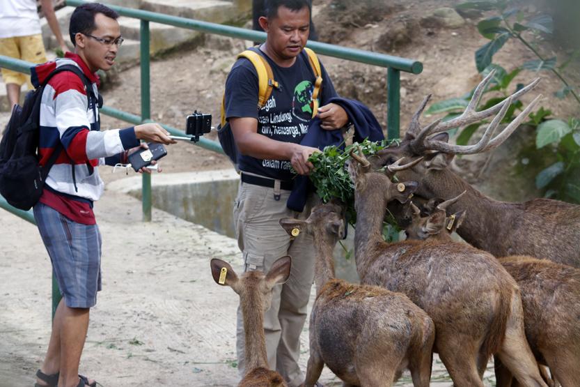 Seorang pengunjung mengabadikan momen memberikan makanan kepada kawanan rusa di Taman Penangkaran Rusa Wan Abdurahman. (Lampungnews/El Shinta)