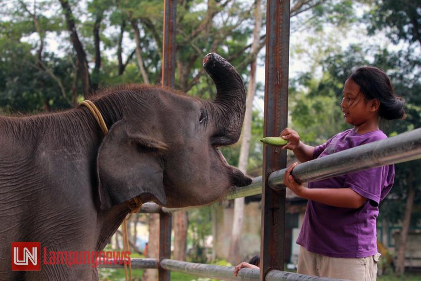 Seorang anak memberikan sebuah pisang ke Erin, gajah berbelalai buntung yang berada di dalam kandang khusus. Erin merupakan gajah yang terkena jeratan pemburu liar hingga menyebabkan belalainya terputus. (Lampungnews/El Shinta)