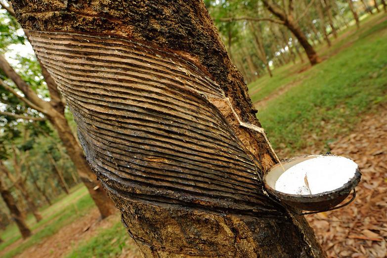 ilustrai - Getah hasil sadapan pohon karet. (Lampungnews.outlok)