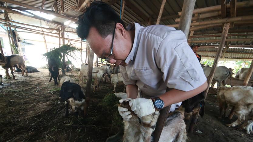 Dokter hewan memeriksa kesehatan hewan di lapak hewan kurban di Tanjung Gading, Tanjungkarang Timur, Rabu (30/8). Pemeriksaan ini dilakukan untuk memastikan hewan yang akan dikurbankan pada Hari Raya Idul Fitri layak dan memenuhi syarat. (Lampungnews/El Shinta)