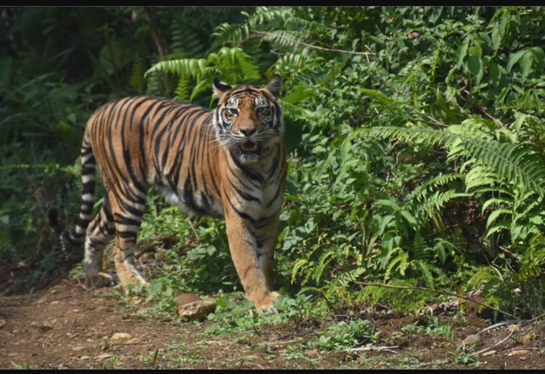 Ilustrasi Harimau Sumatera (Ist)